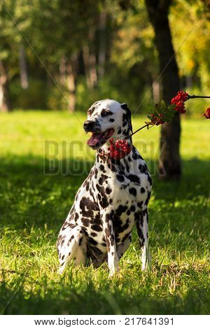 Young dalmatian sitting on grass and looking at you with ashberry branch at sunny day