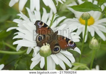 Aglais io, Inachis io, the European peacock butterfly sitting on the white Matricaria chamomilla flower petals. close up, macro.