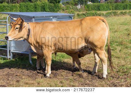 Cow suckling a calf in Asturias - Spain