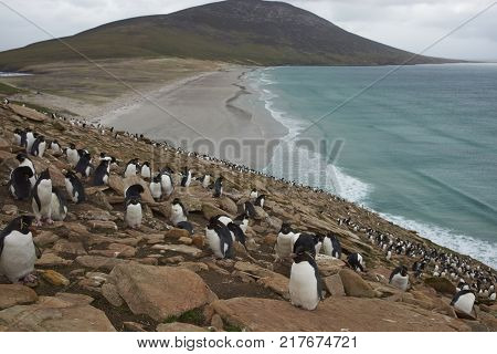 Colony of Rockhopper Penguins (Eudyptes chrysocome) on the cliffs above The Neck on Saunders Island in the Falkland Islands