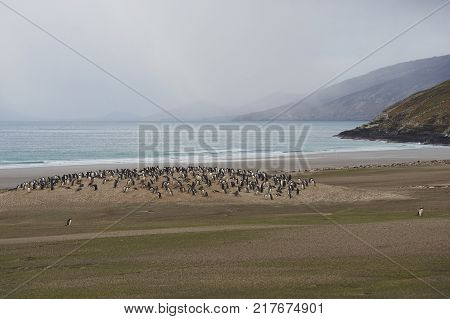 The Neck on Saunders Island in the Falkland Islands; home to multiple colonies of Gentoo Penguins (Pygoscelis papua).