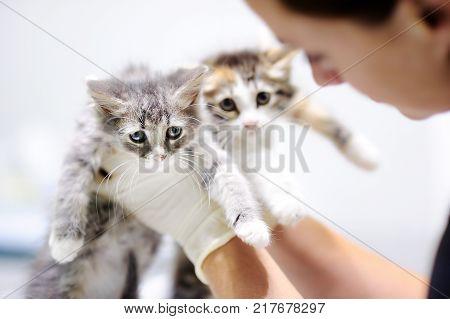 Female Veterinary Doctor Using Stethoscope For Cute Kitten