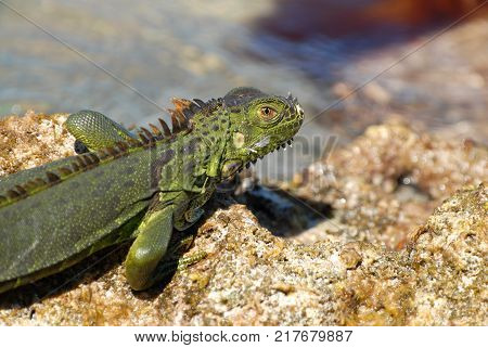 This green iguana was photographed in the Florida Keys where it is an invasive species.