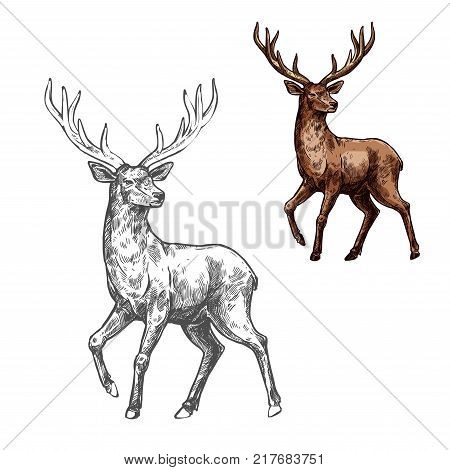 Deer, reindeer or elk isolated sketch of wild mammal animal. Brown stag of adult deer with large antlers for hunting sport club or zoo symbol, forest wildlife themes design