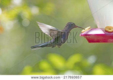 Violet Sabrewing Hummingbird in Flight in the Monteverde Cloud Forest in Costa Rica