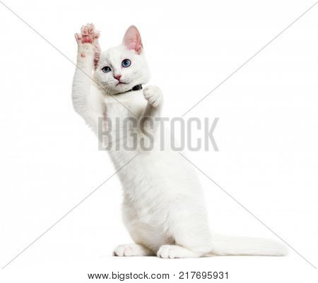 White kitten mixed-breed cat wearing a bell collar standing on hind legs, isolated on white