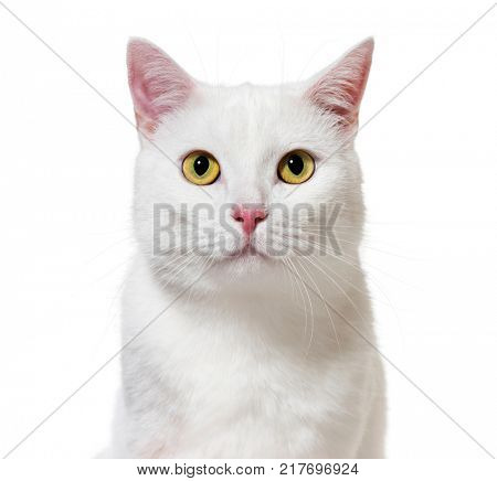 White mixed-breed cat facing at the camera(2 years old), isolated on white