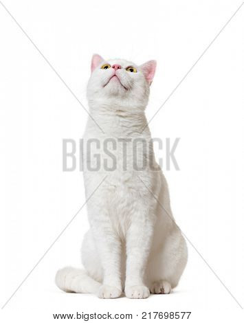 White mixed-breed cat looking up(2 years old), isolated on white