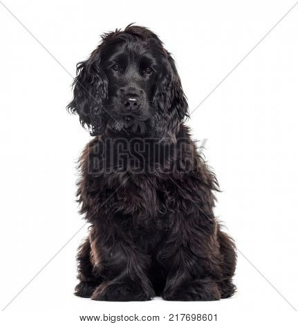 Cocker Spaniel Breed dog