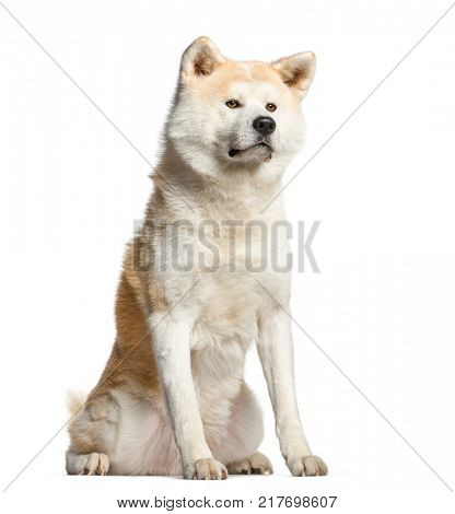 Akita inu, dog  sitting and looking away, isolated on white
