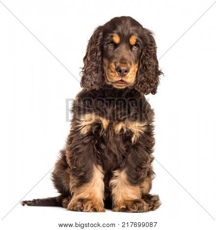 Brown cocker spaniel dog sitting