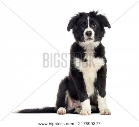 puppy border collie dog, 3 months old, sitting, isolated on white