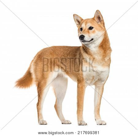 Shiba Inu dog, looking away, white background (10 months old)