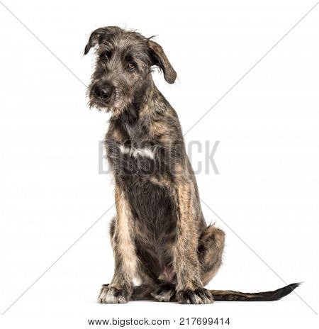 Irish Wolfhound dog, sitting, , isolated on white
