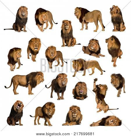 Large collection of adult lion Isolated on white background.