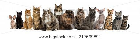 Many Cats sitting in a row, isolated on white
