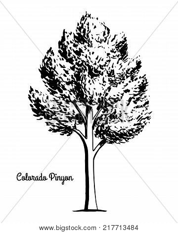 Vector sketch illustration. Black silhouette of Colorado two-needle pinyon isolated on white background. Drawing of evergreen coniferous plant Pinus edulis, New Mexico state tree.