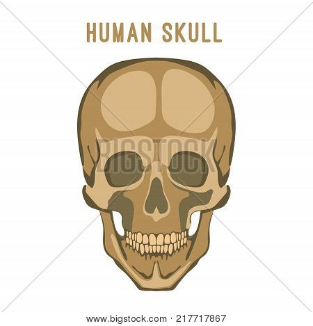Human skull image. Vector illustration isolated on a white background useful for creating medical and scientific materials. Anatomy, medicine and biology concept.