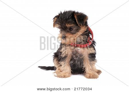Yorkshire Terrier puppy isolated over white background poster