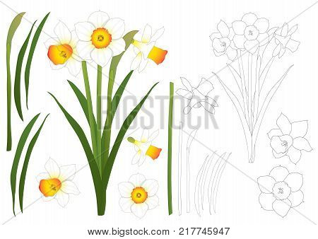 Daffodill - Narcissus Outline. Vector Illustration. isolated on White Background.