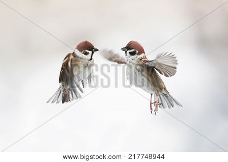 two cute little Sparrow birds flying in the air and spread their feathers and wings