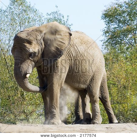 Dust Bath Elephant