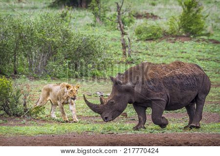 Southern white rhinoceros and African lion in Kruger national park, South Africa ; Specie and Ceratotherium simum simum Panthera leo