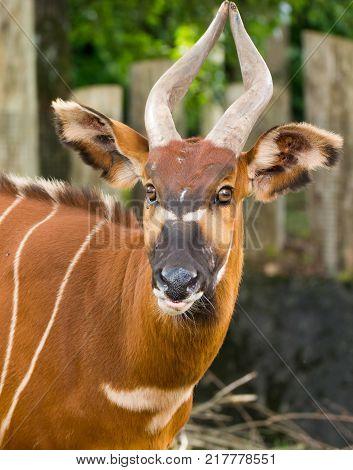 Beautiful Animal - Big Eastern Bongo Antelope, Extremely Rare Animal Leaving Only In Kenya.