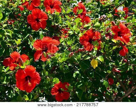 Red Hibiscus flowers (China rose, Chinese hibiscus,Hawaiian hibiscus) in tropical garden of Tenerife,Canary Islands,Spain.Floral background.