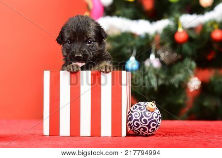 Dog year pet on red background. Year of dog holiday celebration with champagne in wine glass. New year puppy at clock. Santa puppy at Christmas tree in present box. Boxing day and winter xmas party.
