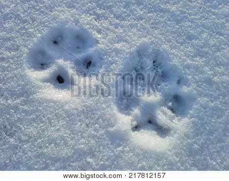 Two Dog Pawprints in the Snow - Landscape