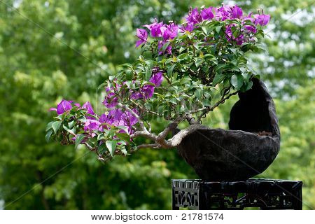 Bouganvillea As Bonsai Tree