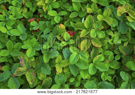 View on green strawberry leaves. Strawberry leaves background pattern texture. Green fresh strawberry leaves background pattern. Abstract strawberry foliage pattern backdrop.
