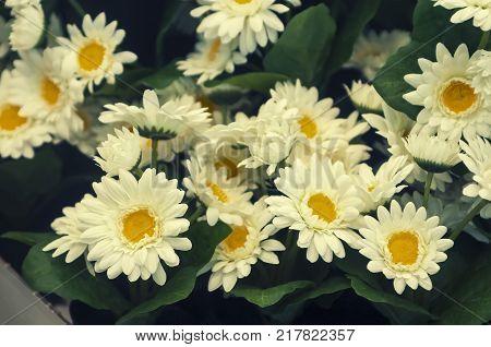 Daisy flower isolated on sunlight background and vintage tone.Lovely flower inventor.Bellis perennis, daisy, Thymophylia Tenuiloba , Dahlberg Daisy, Gold Carpet, Gloden Fleece