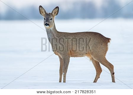 Roe deer (Capreolus capreolus) in winter. Young male deer buck in cold snow.