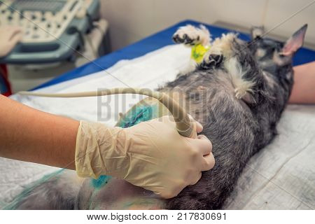 Veterinary physician doing medical ultrasound scan of dog examining its condition in hospital