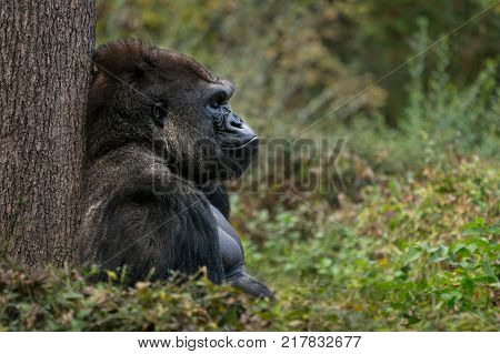 Western Lowland Gorilla Sitting and Sleeping on Grass Against a Tree Trunk