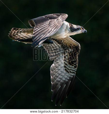 Osprey in Flight After Catching a Menhaden Fish