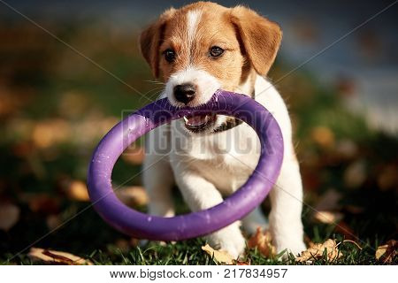 Dog breed Jack Russell Terrier walking in autumn park