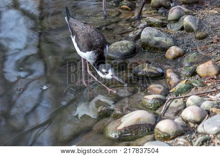 Black-necked Stilt forages for food along the rocky shore of a lake