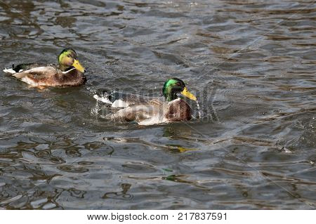 water dripping from an adult mallard drake as he swims in a pond