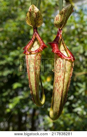 Sarracenia carnivorous plant which is a fly trap in the form of a pitcher