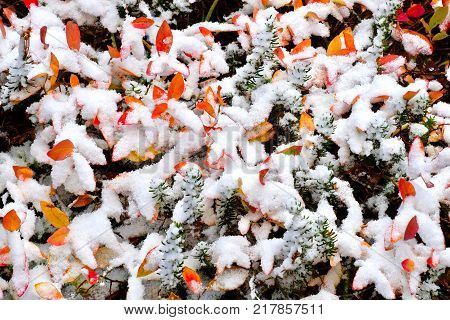 Early snow on red and yellow leaves in autumn. Red and yellow leaves of blueberry bushes covered with fresh snow in alpine meadows. Mount Rainier National Park. Pacific Northwest near Seattle. Washington. United States.