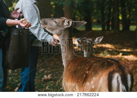 People feed a group of deer in the forest. Caring for animals