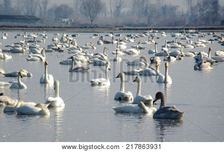 a bunch of immigrant whooper swans in a pond near Caspian Sea in winter