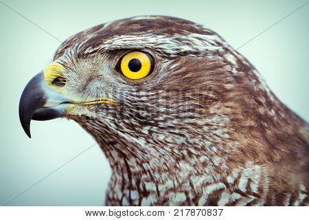 Head of wild goshawk close up picture