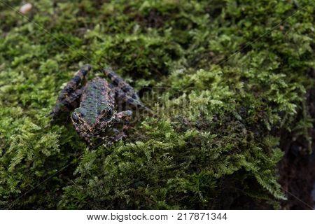 Odorrana schmackeri in nature ,Amphibians of thailand