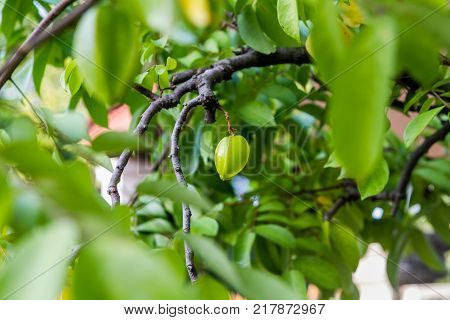 Baby Carambola or Star fruit (shape like a star) on tree