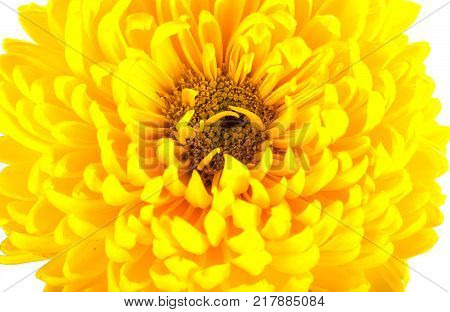 Large bright yellow chrysanthemums on white background. One big flower head with petals pistils stamens. Top view. Close shot.