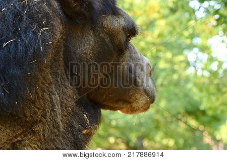 Bactrian Camel. Geographic Range: Its population of two million exists mainly in the domesticated form, wild camels Camelus ferus live only in Gobi and Gashun Gobi deserts of northwest China and Mongolia. Close-up camel eye.